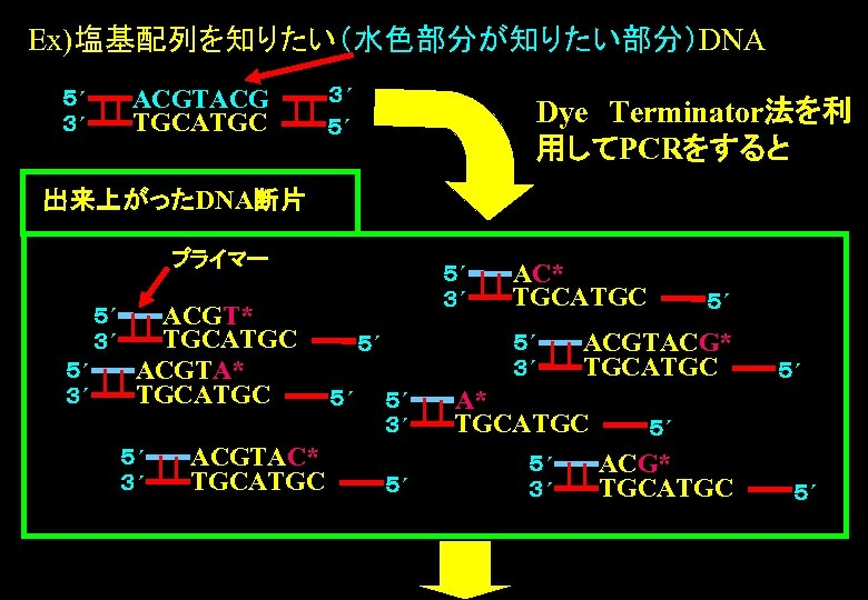 Ex)塩基配列を知りたい(水色部分が知りたい部分)DNA ACGTACG TGCATGC 5´ 3´ 3´ 5´ Dye Terminator法を利 用してPCRをすると 出来上がったDNA断片 プライマー 5´ 3´ ACGT*