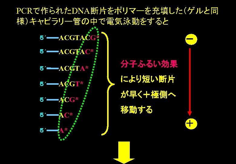 PCRで作られたDNA断片をポリマーを充填した(ゲルと同 様)キャピラリー管の中で電気泳動をすると 5´ ACGTACG* 5´ ACGTAC* 5´ ACGTA* 5´ 5´ ACGT* ACG* AC* A*
