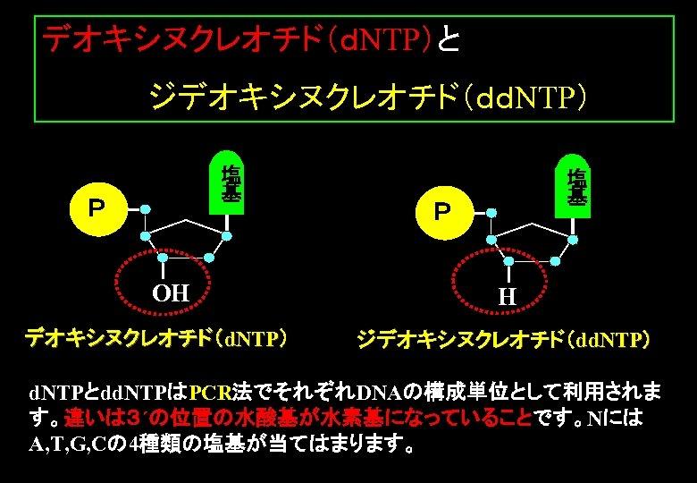 デオキシヌクレオチド(dNTP)と      ジデオキシヌクレオチド(ddNTP) 塩 基 P OH デオキシヌクレオチド(d. NTP) 塩 基 P H ジデオキシヌクレオチド(dd. NTP)