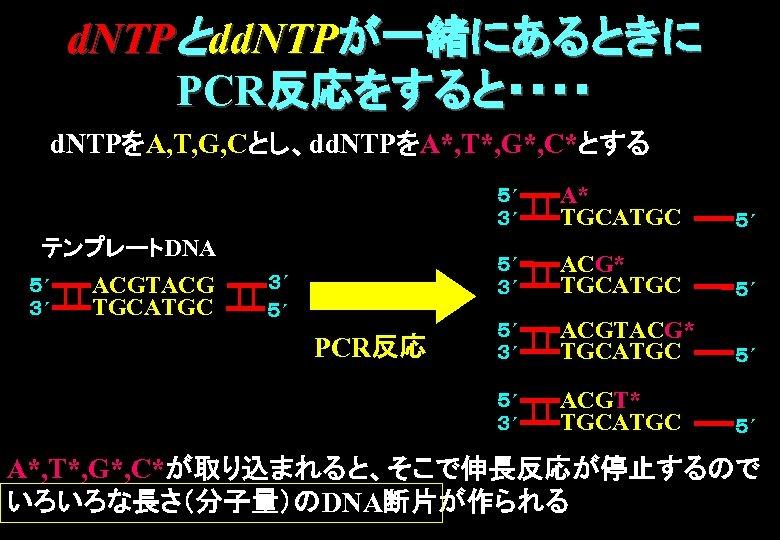 d. NTPとdd. NTPが一緒にあるときに PCR反応をすると・・・・ d. NTPをA, T, G, Cとし、dd. NTPをA*, T*, G*, C*とする 5´