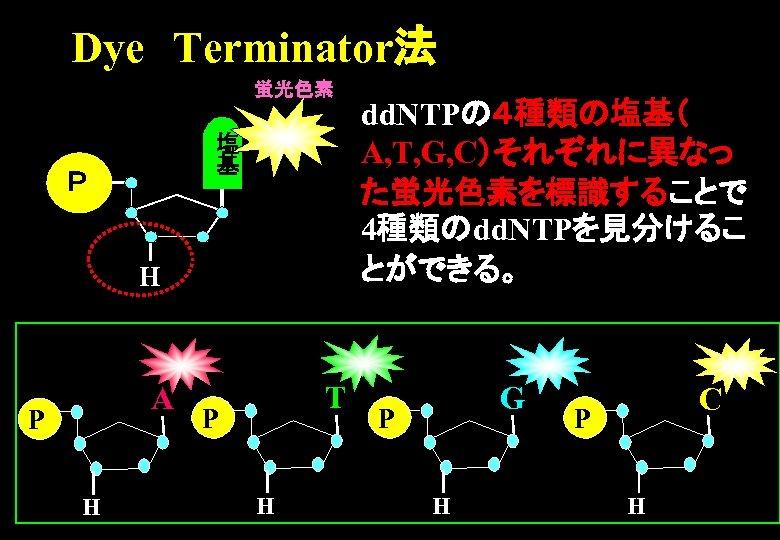 Dye Terminator法 蛍光色素 塩 基 P H A P H T P H dd. NTPの4種類の塩基(