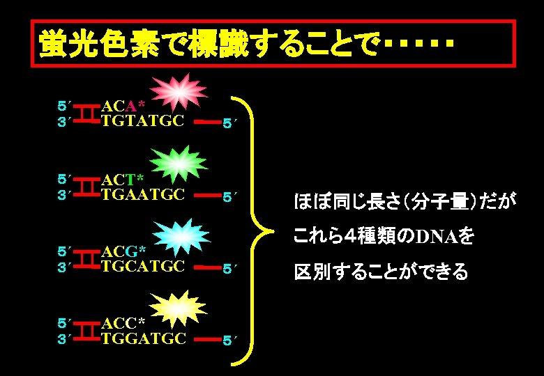 蛍光色素で標識することで・・・・・ 5´ 3´ ACA* TGTATGC 5´ 5´ 3´ ACT* TGAATGC 5´ ほぼ同じ長さ(分子量)だが これら4種類のDNAを 5´