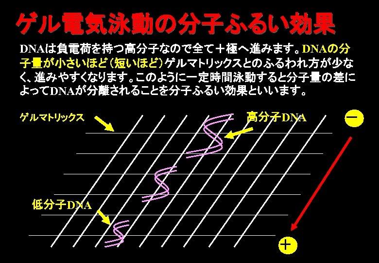 ゲル電気泳動の分子ふるい効果 DNAは負電荷を持つ高分子なので全て+極へ進みます。DNAの分 子量が小さいほど(短いほど)ゲルマトリックスとのふるわれ方が少な く、進みやすくなります。このように一定時間泳動すると分子量の差に よってDNAが分離されることを分子ふるい効果といいます。 ゲルマトリックス 高分子DNA 低分子DNA + -