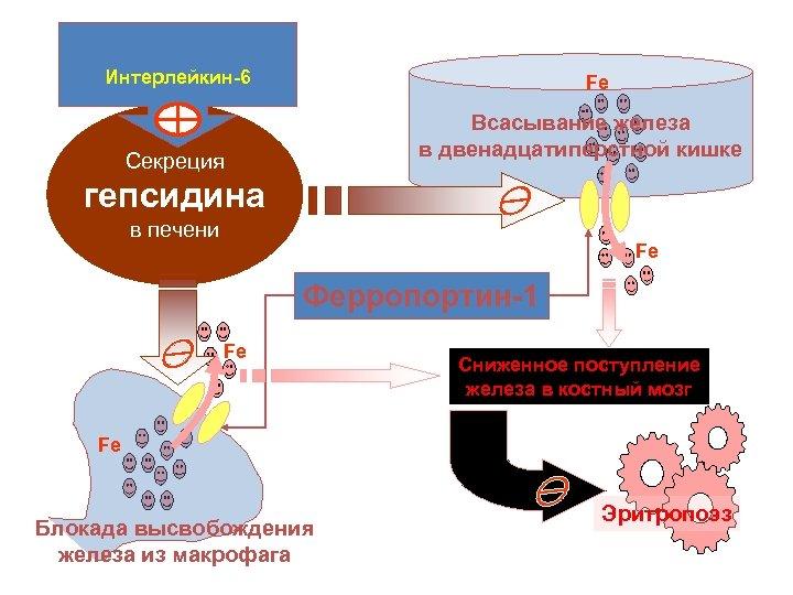 Интерлейкин-6 Fe Всасывание железа в двенадцатиперстной кишке Секреция гепсидина в печени Fe Ферропортин-1 Fe