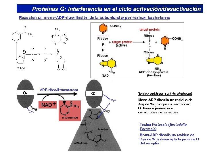 Proteínas G: interferencia en el ciclo activación/desactivación Reacción de mono-ADP-ribosilación de la subunidad por
