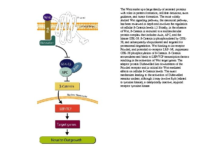 The Wnts make up a large family of secreted proteins with roles in pattern