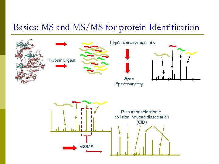 Basics: MS and MS/MS for protein Identification Liquid Chromatography Trypsin Digest Mass Spectrometry Precursor