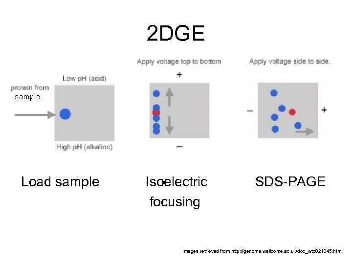 2 DGE Load sample Isoelectric focusing SDS-PAGE Images retrieved from http: //genome. wellcome. ac.