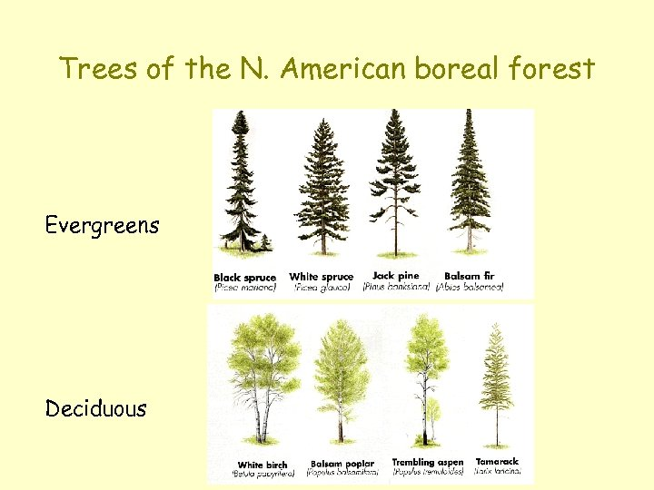 Trees of the N. American boreal forest Evergreens Deciduous