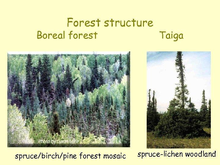 Forest structure Boreal forest spruce/birch/pine forest mosaic Taiga spruce-lichen woodland