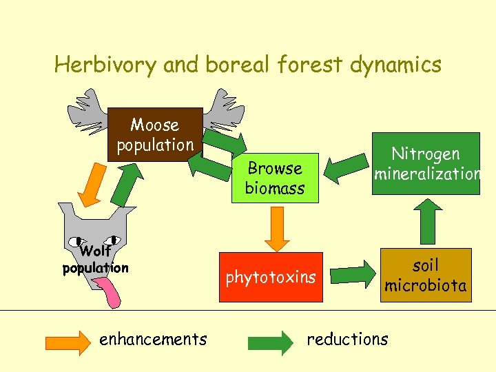 Herbivory and boreal forest dynamics Moose population Nitrogen mineralization Browse biomass Wolf population enhancements