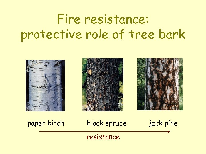 Fire resistance: protective role of tree bark paper birch black spruce resistance jack pine
