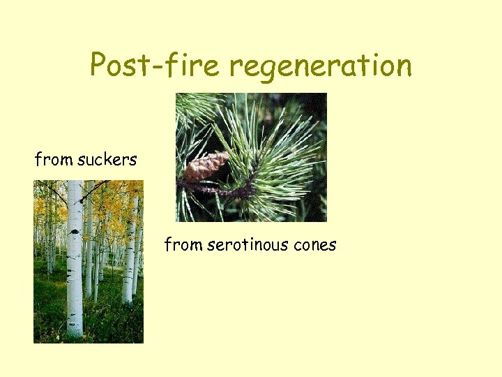 Post-fire regeneration from suckers from serotinous cones