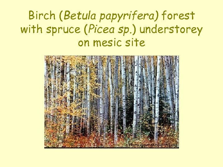 Birch (Betula papyrifera) forest with spruce (Picea sp. ) understorey on mesic site