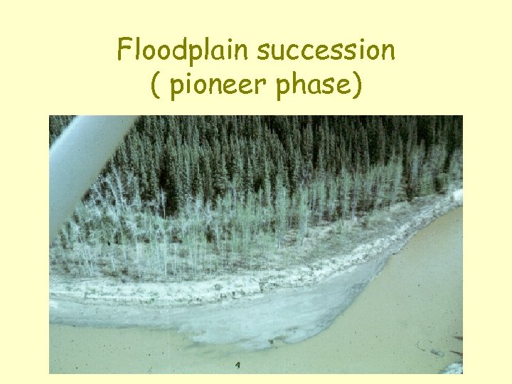 Floodplain succession ( pioneer phase)