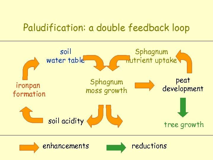 Paludification: a double feedback loop soil water table Sphagnum nutrient uptake Sphagnum moss growth