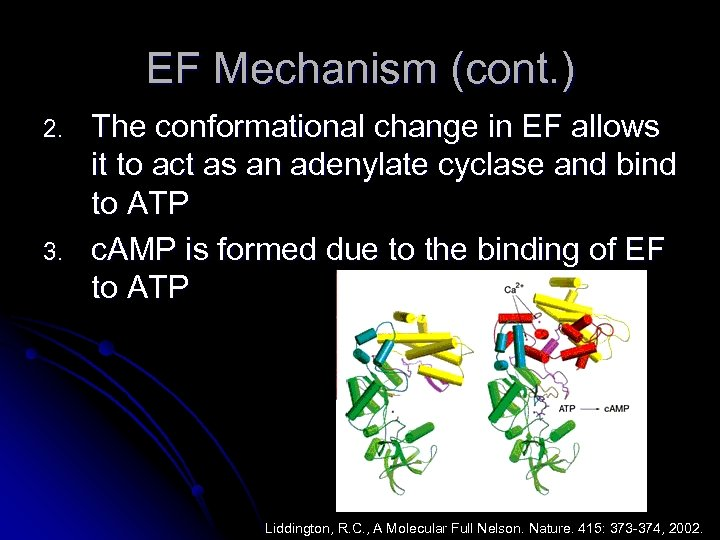 EF Mechanism (cont. ) 2. 3. The conformational change in EF allows it to