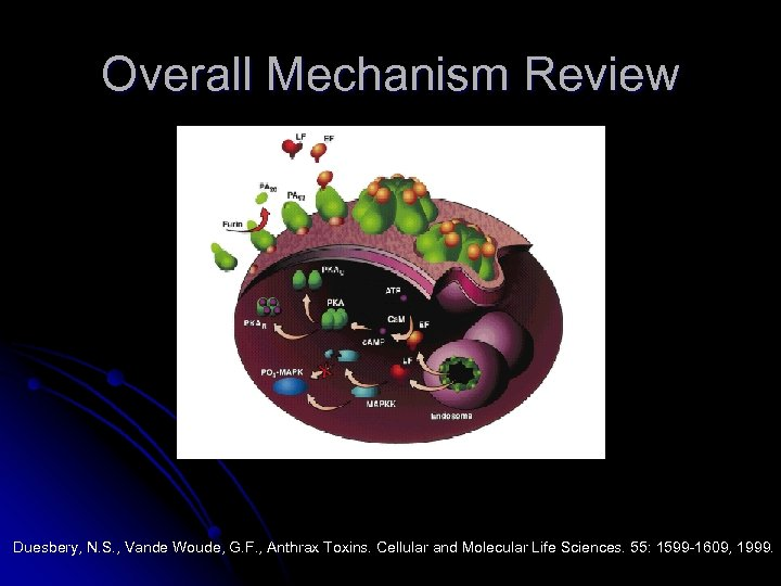 Overall Mechanism Review Duesbery, N. S. , Vande Woude, G. F. , Anthrax Toxins.