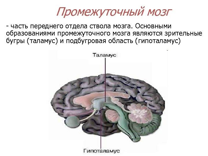 Промежуточный мозг - часть переднего отдела ствола мозга. Основными образованиями промежуточного мозга являются зрительные