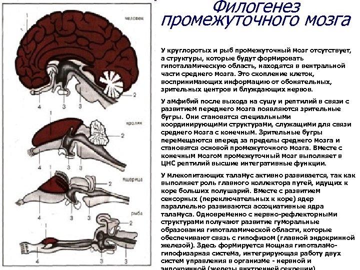 Филогенез промежуточного мозга У круглоротых и рыб промежуточный мозг отсутствует, а структуры, которые будут