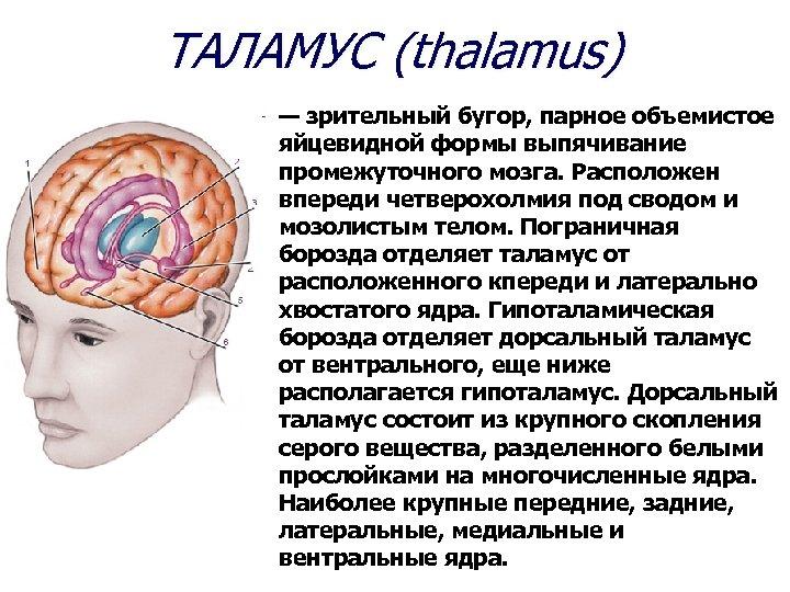ТАЛАМУС (thalamus) — зрительный бугор, парное объемистое яйцевидной формы выпячивание промежуточного мозга. Расположен впереди