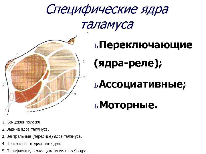 Специфические ядра таламуса ь Переключающие (ядра-реле); ь Ассоциативные; ь Моторные. 1. Концевая полоска. 2.