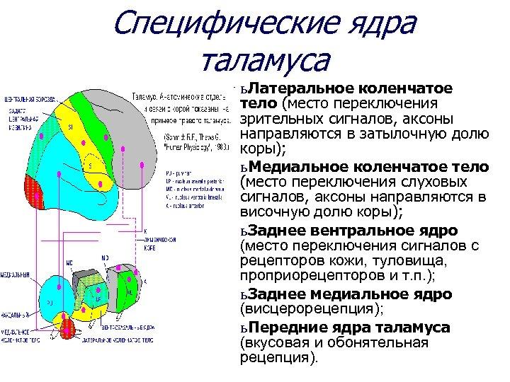 Специфические ядра таламуса ь Латеральное коленчатое тело (место переключения зрительных сигналов, аксоны направляются в