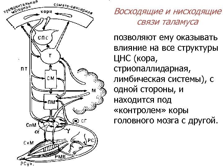 Восходящие и нисходящие связи таламуса позволяют ему оказывать влияние на все структуры ЦНС (кора,