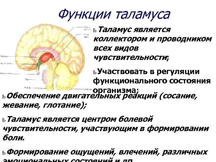 Функции таламуса ь Таламус является коллектором и проводником всех видов чувствительности; ь Участвовать в