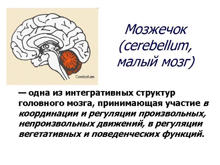 Мозжечок (cerebellum, малый мозг) — одна из интегративных структур головного мозга, принимающая участие в