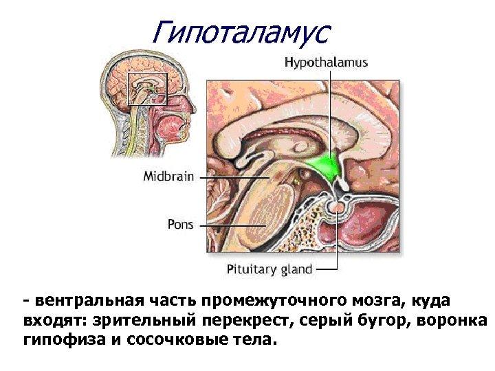 Гипоталамус - вентральная часть промежуточного мозга, куда входят: зрительный перекрест, серый бугор, воронка гипофиза