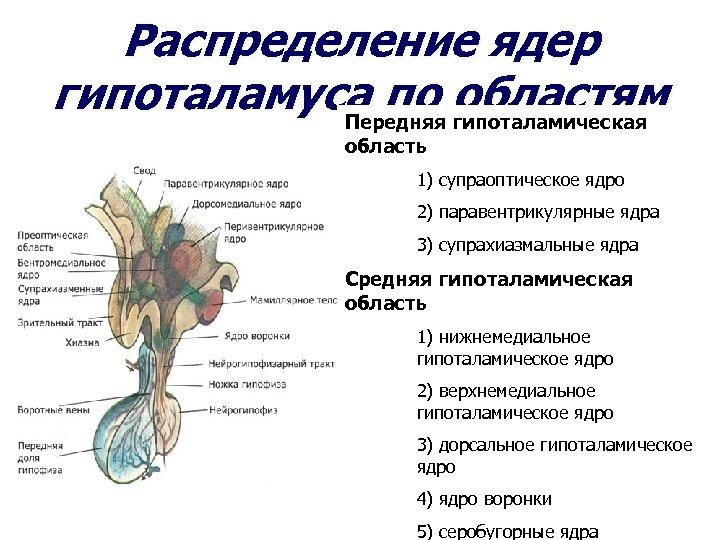 Распределение ядер гипоталамуса по областям Передняя гипоталамическая область 1) супраоптическое ядро 2) паравентрикулярные ядра