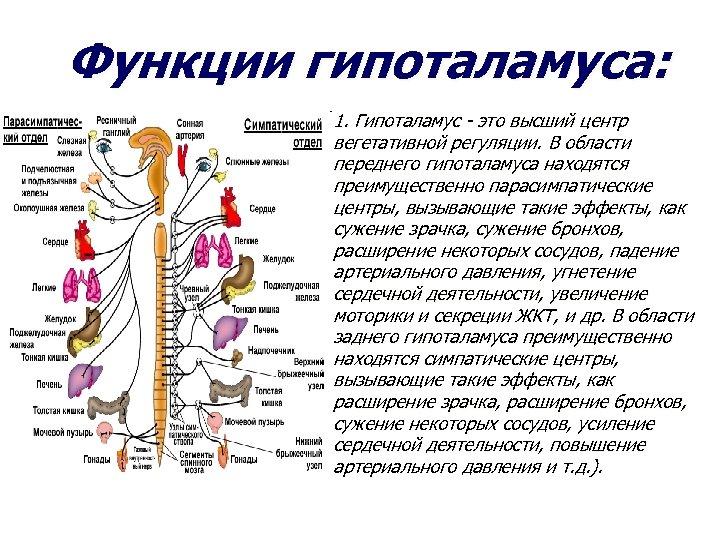 Функции гипоталамуса: 1. Гипоталамус - это высший центр вегетативной регуляции. В области переднего гипоталамуса