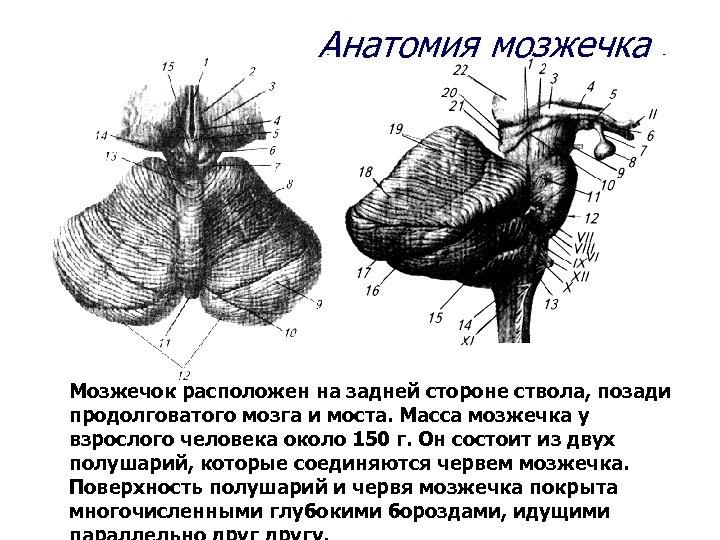 Анатомия мозжечка Мозжечок расположен на задней стороне ствола, позади продолговатого мозга и моста. Масса