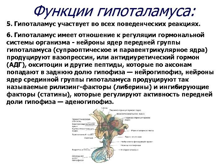 Функции гипоталамуса: 5. Гипоталамус участвует во всех поведенческих реакциях. 6. Гипоталамус имеет отношение к