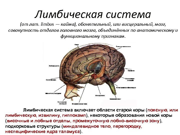 Лимбическая система (от лат. limbus — кайма), обонятельный, или висцеральный, мозг, совокупность отделов головного