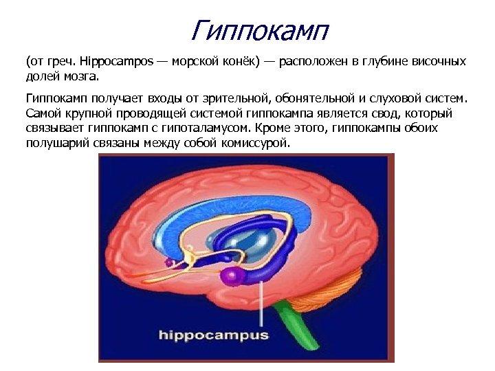 Гиппокамп (от греч. Hippocampos — морской конёк) — расположен в глубине височных долей мозга.