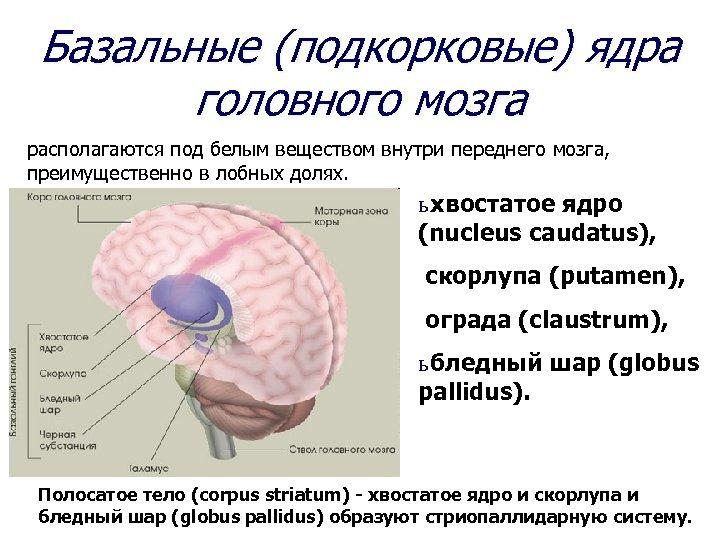 Базальные (подкорковые) ядра головного мозга располагаются под белым веществом внутри переднего мозга, преимущественно в