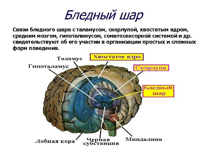 Бледный шар Связи бледного шара с таламусом, скорлупой, хвостатым ядром, средним мозгом, гипоталамусом, соматосенсорной