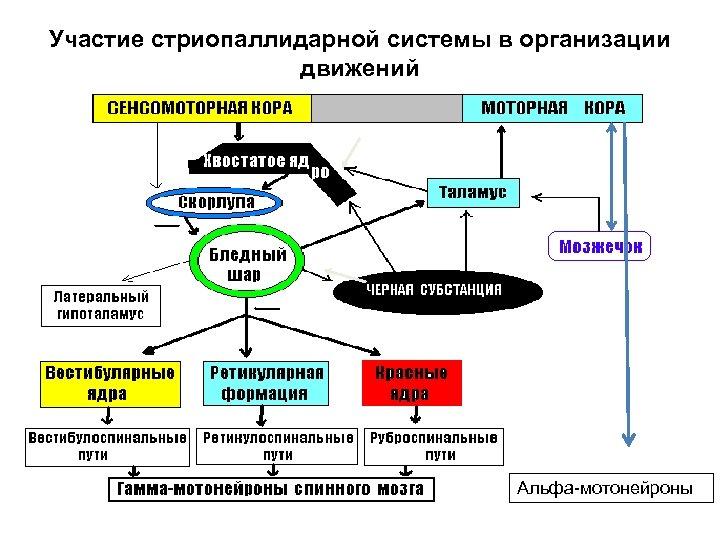 Участие стриопаллидарной системы в организации движений Альфа-мотонейроны