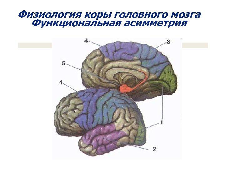 Физиология коры головного мозга Функциональная асимметрия