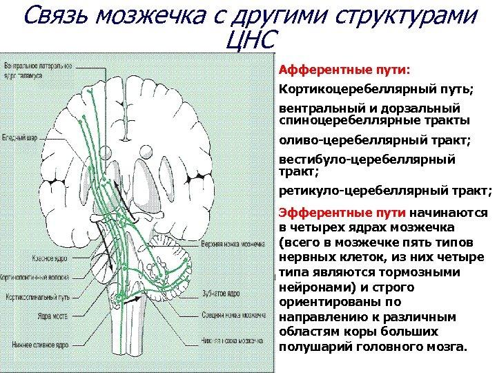 Связь мозжечка с другими структурами ЦНС Афферентные пути: Кортикоцеребеллярный путь; вентральный и дорзальный спиноцеребеллярные