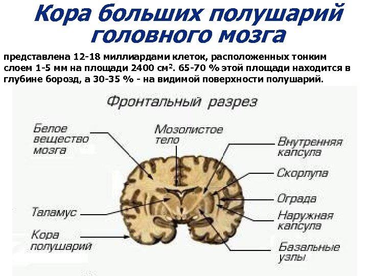Кора больших полушарий головного мозга представлена 12 -18 миллиардами клеток, расположенных тонким слоем 1