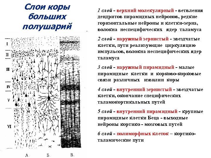 Слои коры больших полушарий 1 слой - верхний молекулярный - ветвления дендритов пирамидных нейронов,