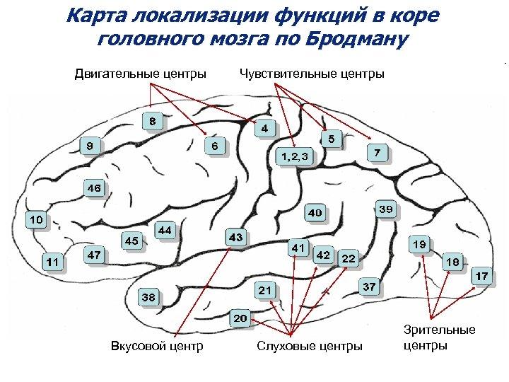 Карта локализации функций в коре головного мозга по Бродману Двигательные центры Вкусовой центр Чувствительные