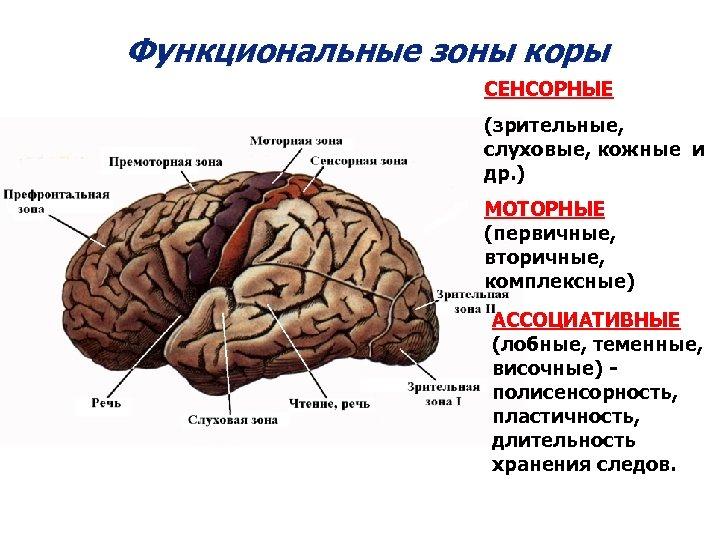 Функциональные зоны коры СЕНСОРНЫЕ (зрительные, слуховые, кожные и др. ) МОТОРНЫЕ (первичные, вторичные, комплексные)