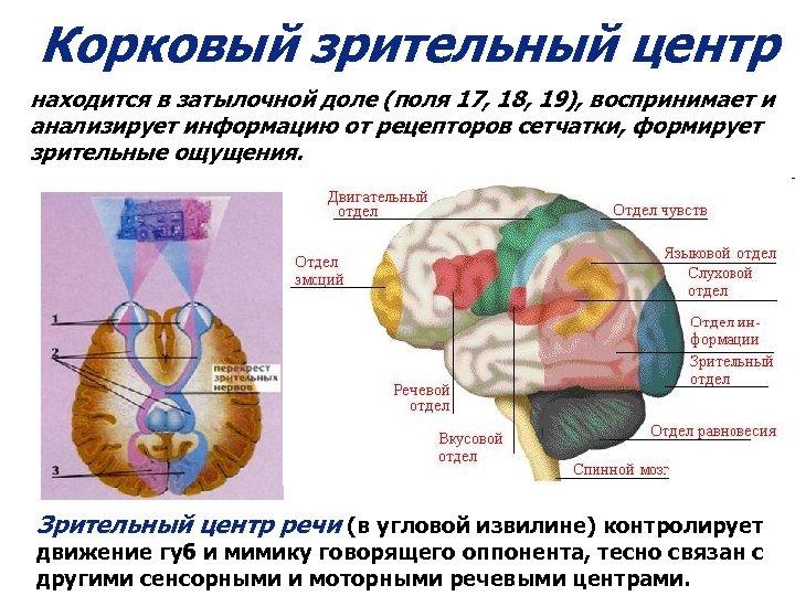 Корковый зрительный центр находится в затылочной доле (поля 17, 18, 19), воспринимает и анализирует