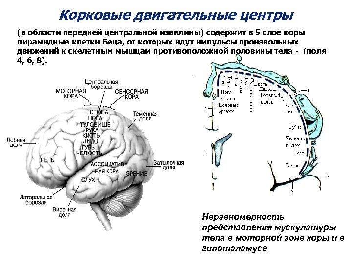 Корковые двигательные центры (в области передней центральной извилины) содержит в 5 слое коры пирамидные