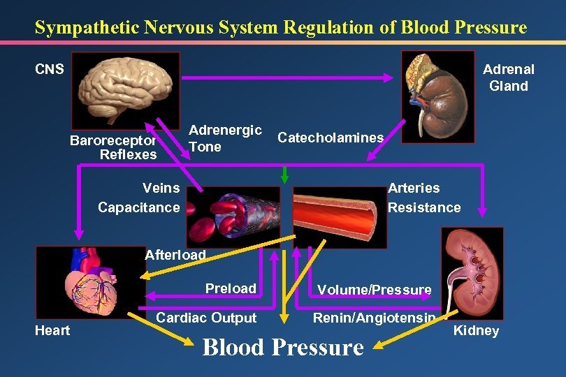 Sympathetic Nervous System Regulation of Blood Pressure CNS Adrenal Gland Baroreceptor Reflexes Adrenergic Tone