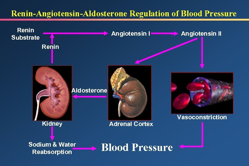 Renin-Angiotensin-Aldosterone Regulation of Blood Pressure Renin Substrate Angiotensin II Renin Aldosterone Kidney Sodium &